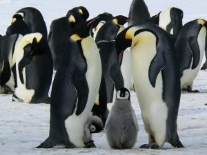 ペンギンムクミ