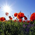 poppies-1031588__180
