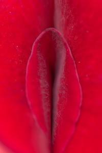 薔薇の花弁