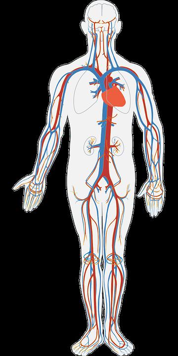 human-body-311864_960_720