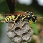 アシナガバチに刺されたら処置はどうする?症状を知っておこう!