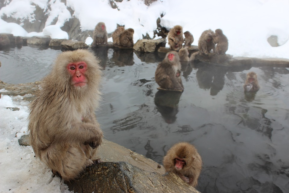 snow-monkeys-1394883_960_720