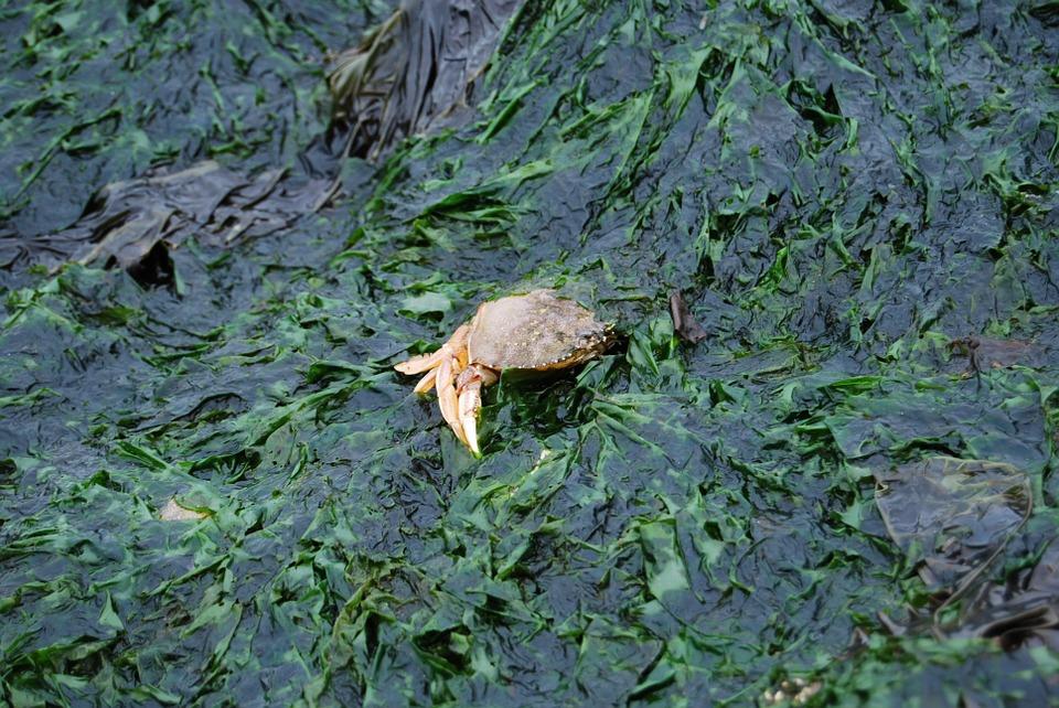 海藻とカニ