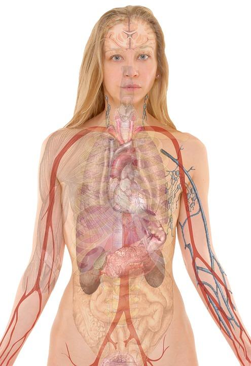 人体解剖女性