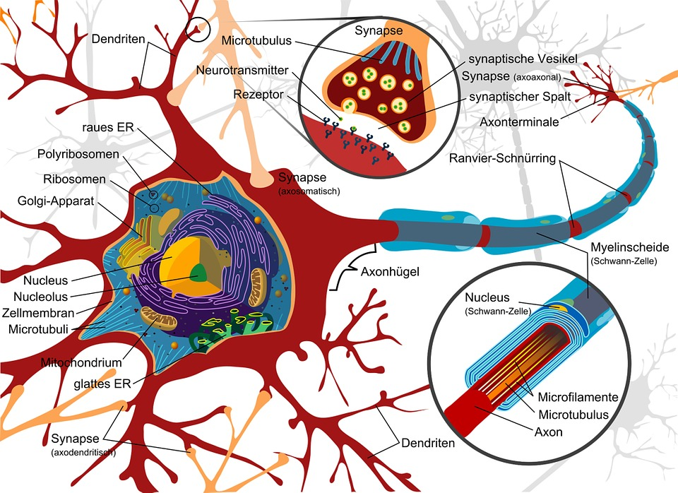 ニューロンとシナプス