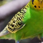 オウム病とは?症状や原因、治療法はなに?鳥とのキスに要注意!