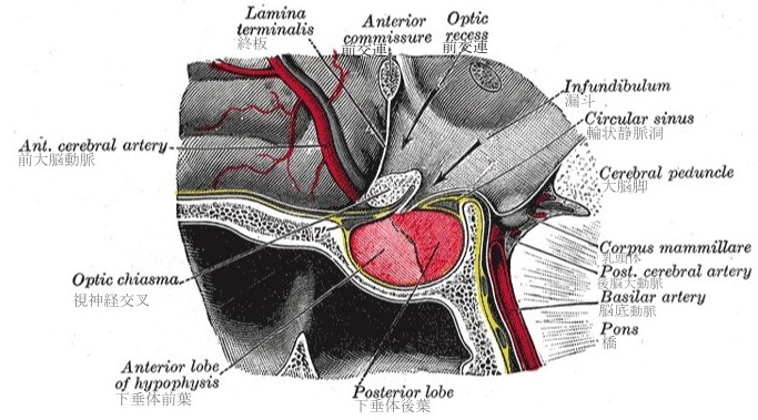 下垂体(2)