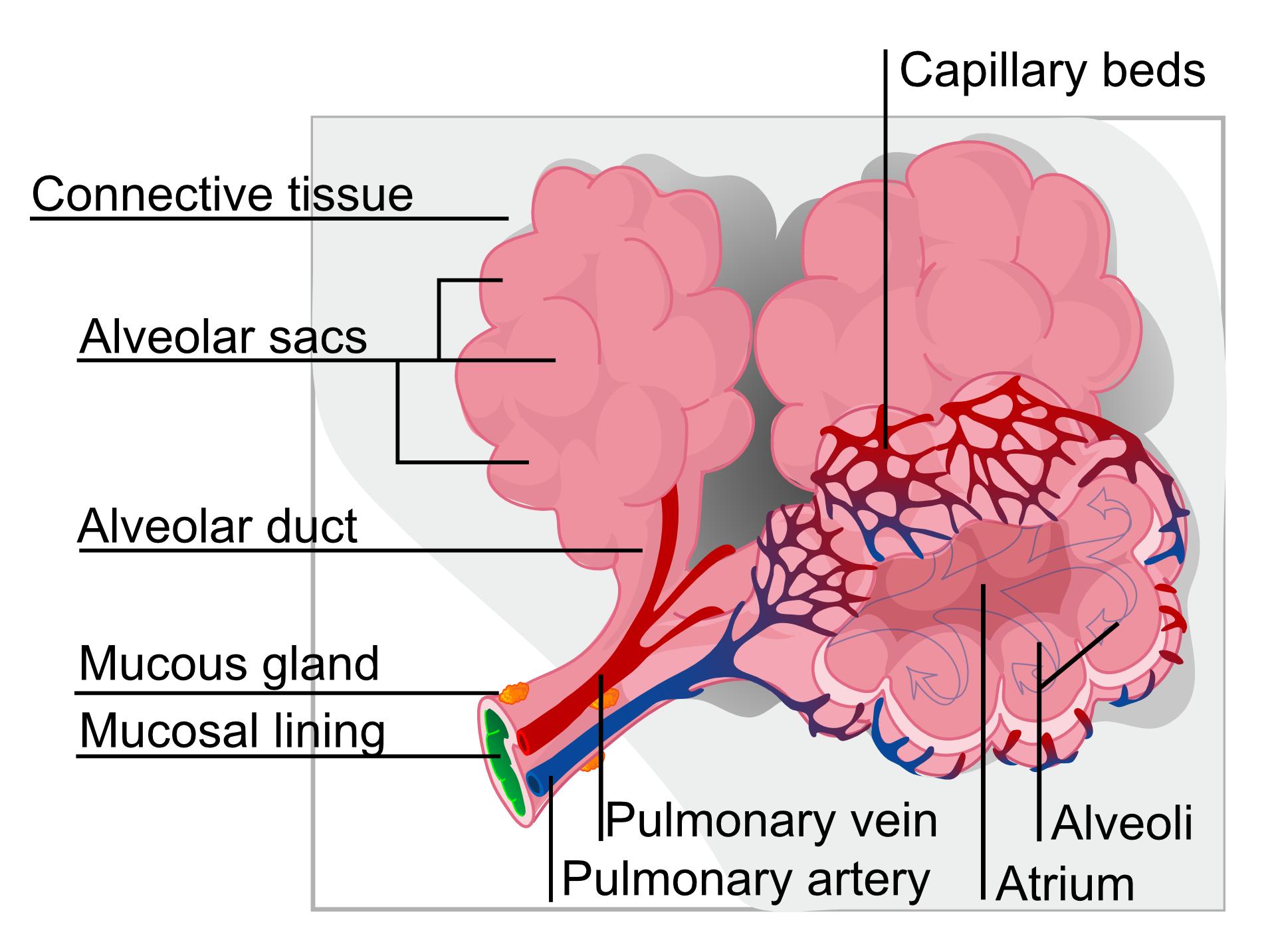 肺胞と毛細血管