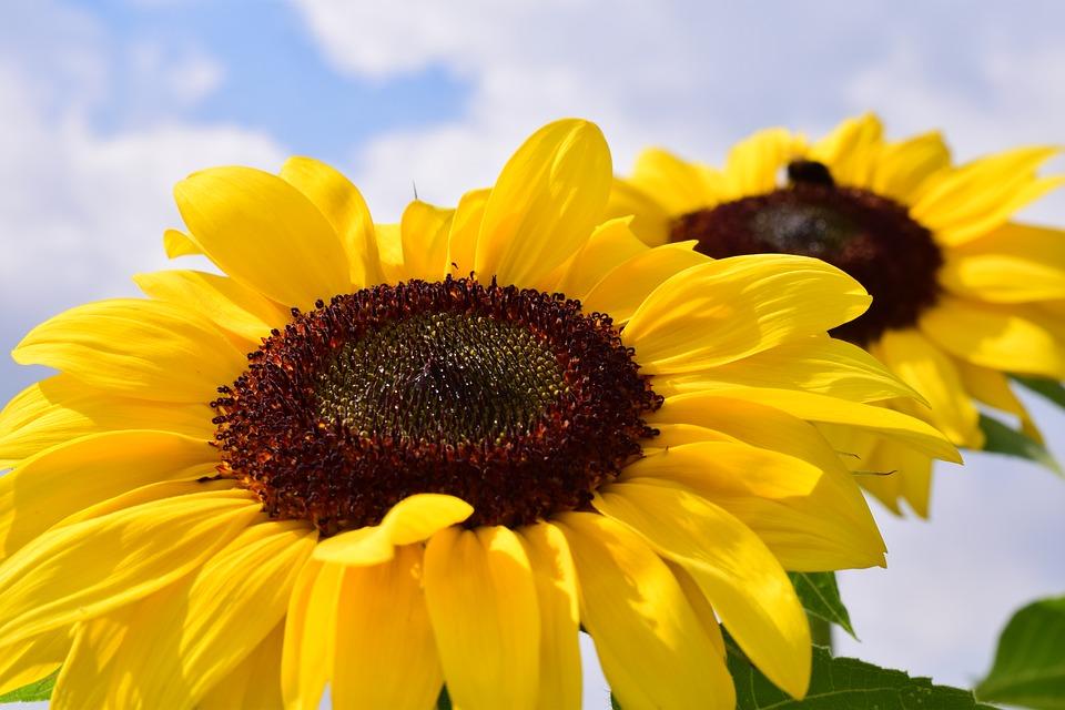 ひまわり花