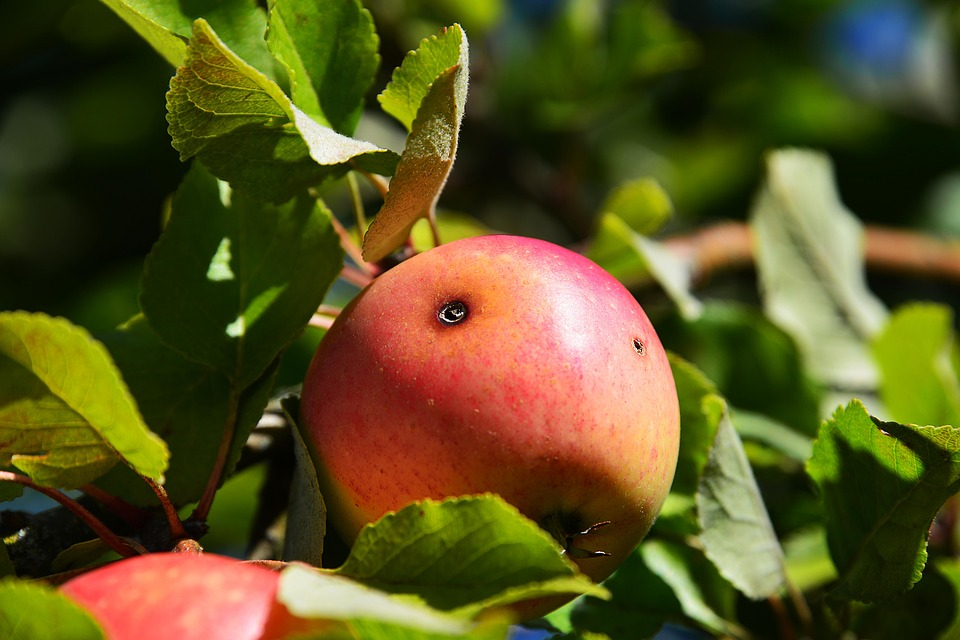 apple-1643392_960_720