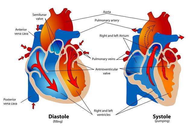 心臓仕組み