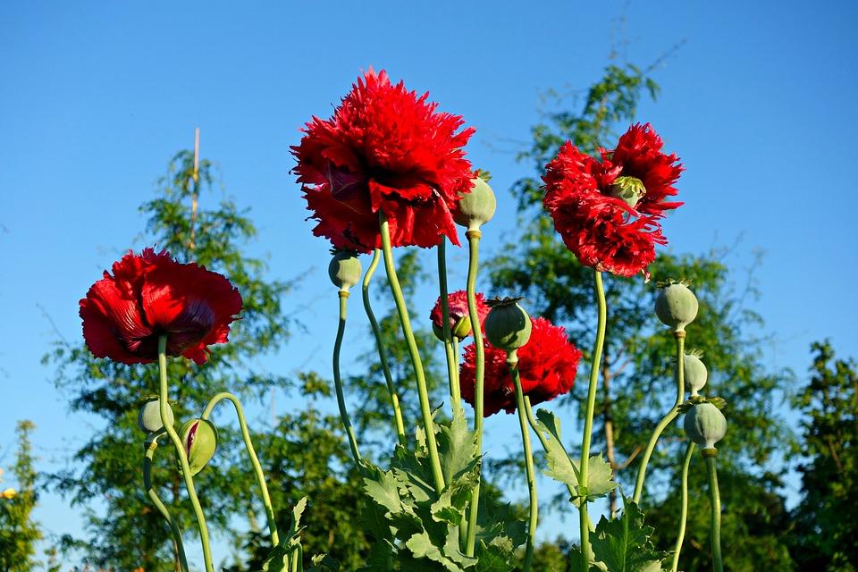 poppy-1478175_960_720