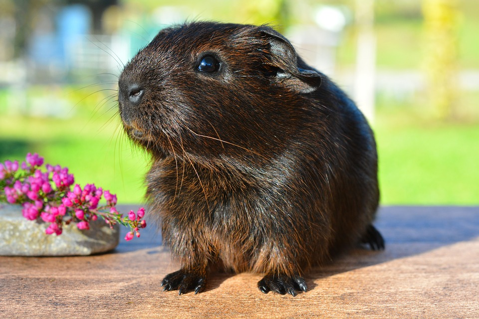 guinea-pig-518266_960_720