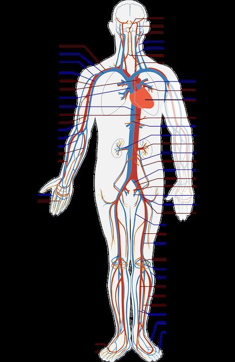 体の血管図
