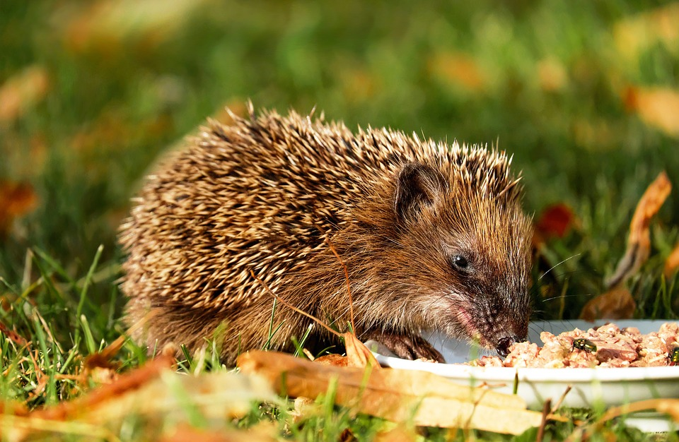 hedgehog-1584351_960_720食事中