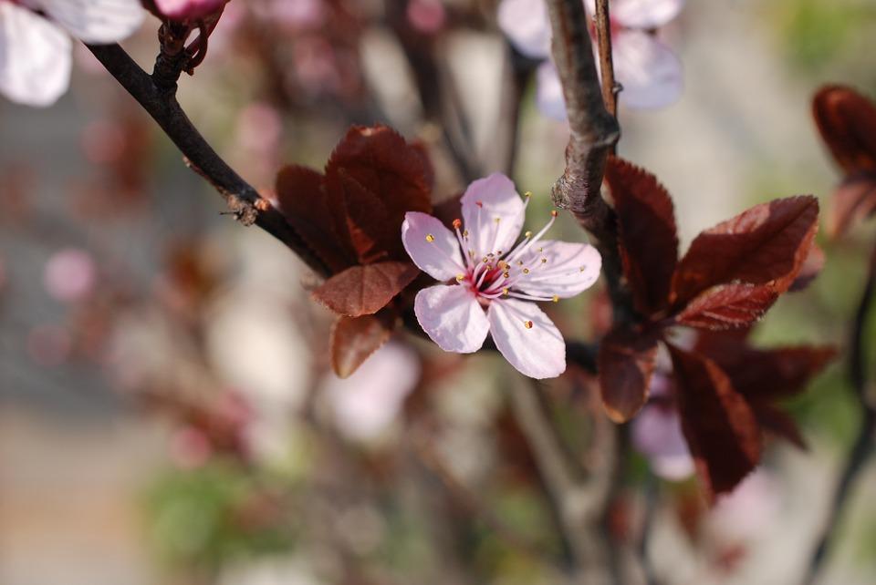 prunes-678421_960_720