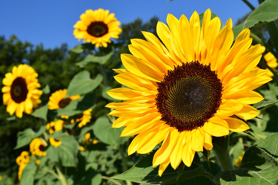 sunflower-1627193_960_720夏