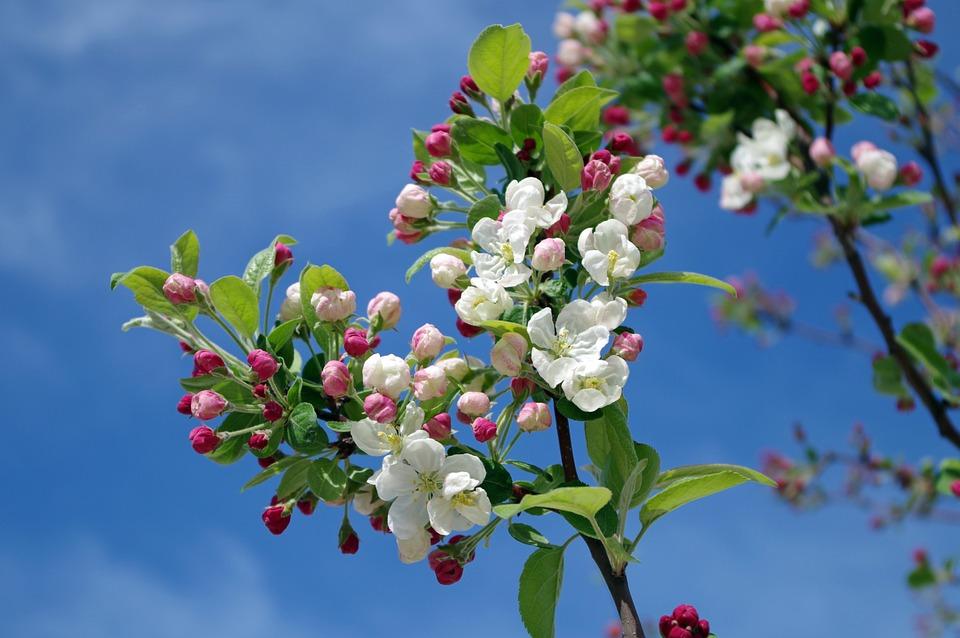apple-blossom-173566_960_720