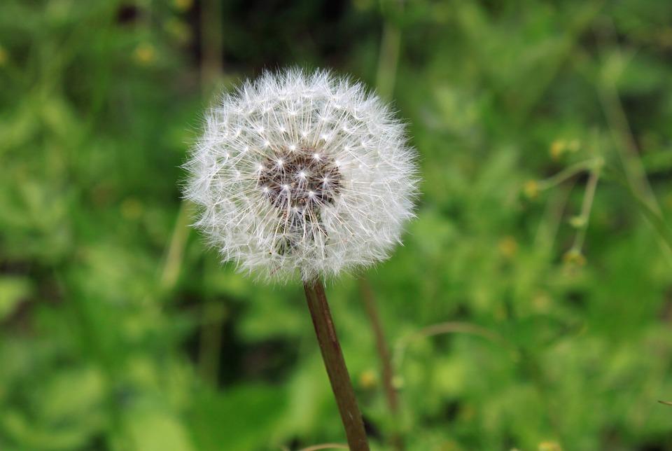 dandelion-1390887_960_720タンポポ