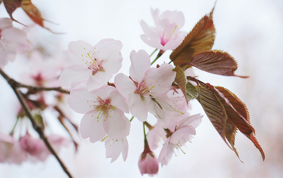 japanese-cherry-trees-2193226_960_720日本の花