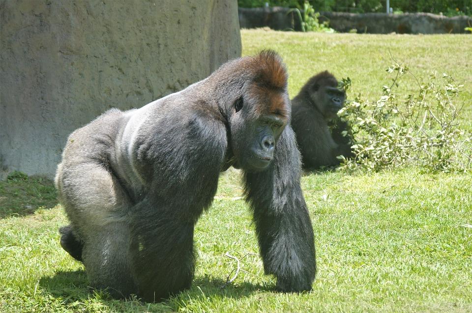 gorilla-1432213_960_720