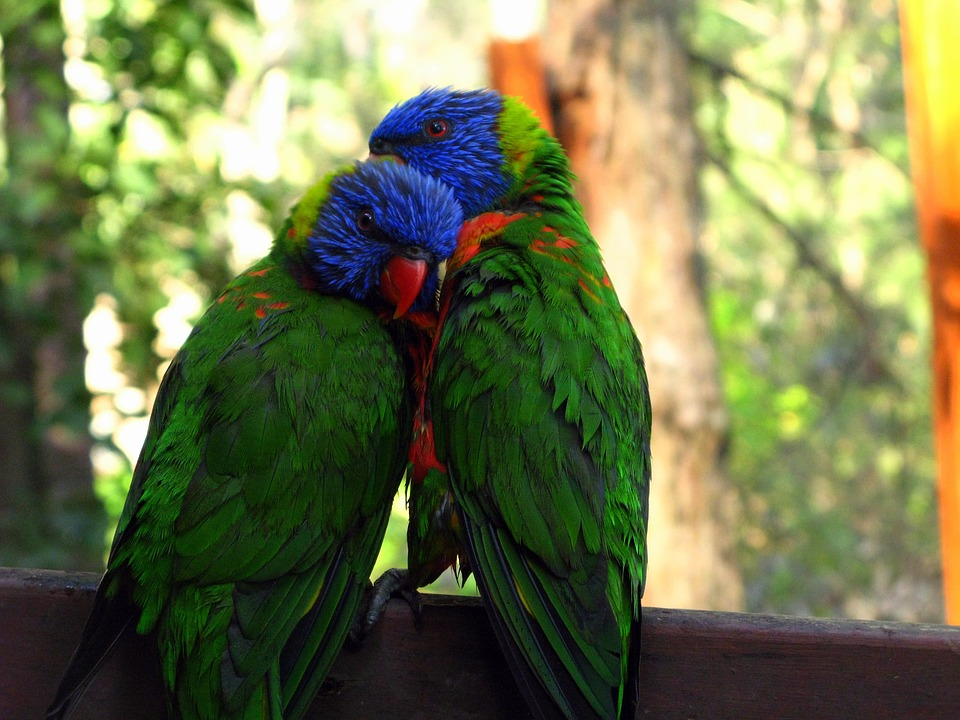 rainbow-lorikeet-947196_960_720ラブバード