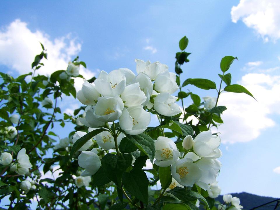 jasmine-2374392_960_720 (1)