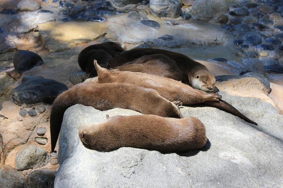 otters-896559_960_720怠けるカワウソ