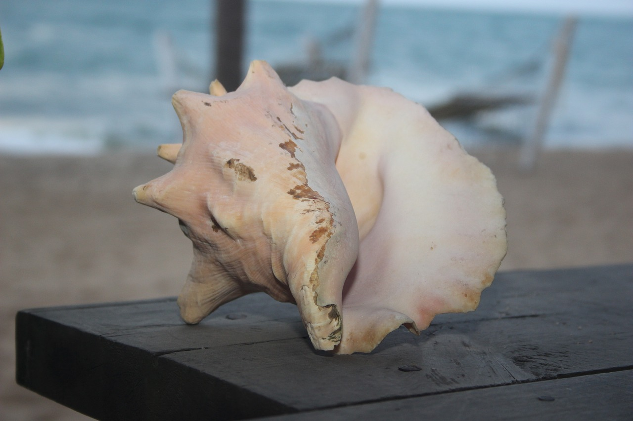 conch-shell-2712752_1280