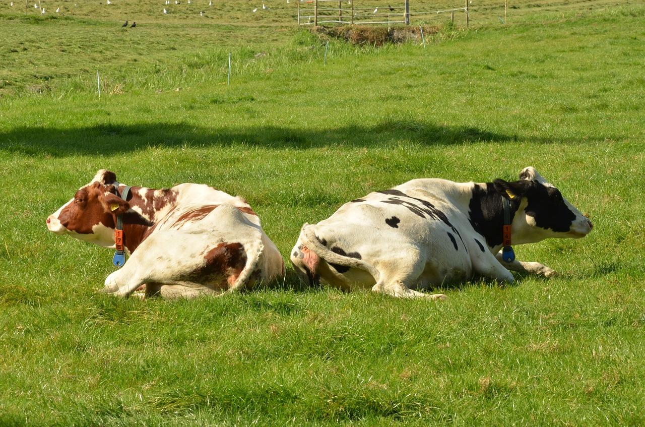 cow-1682892_1280
