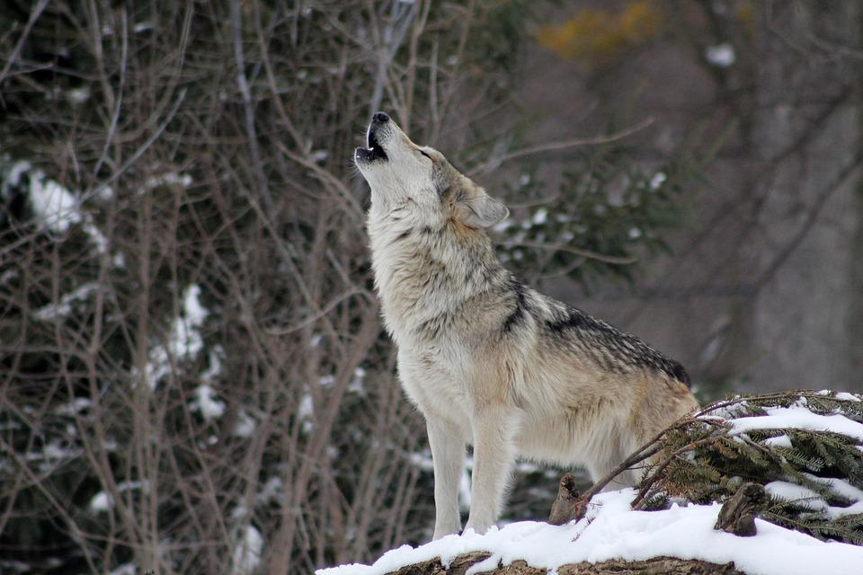 一匹オオカミwolf-1992716_960_720