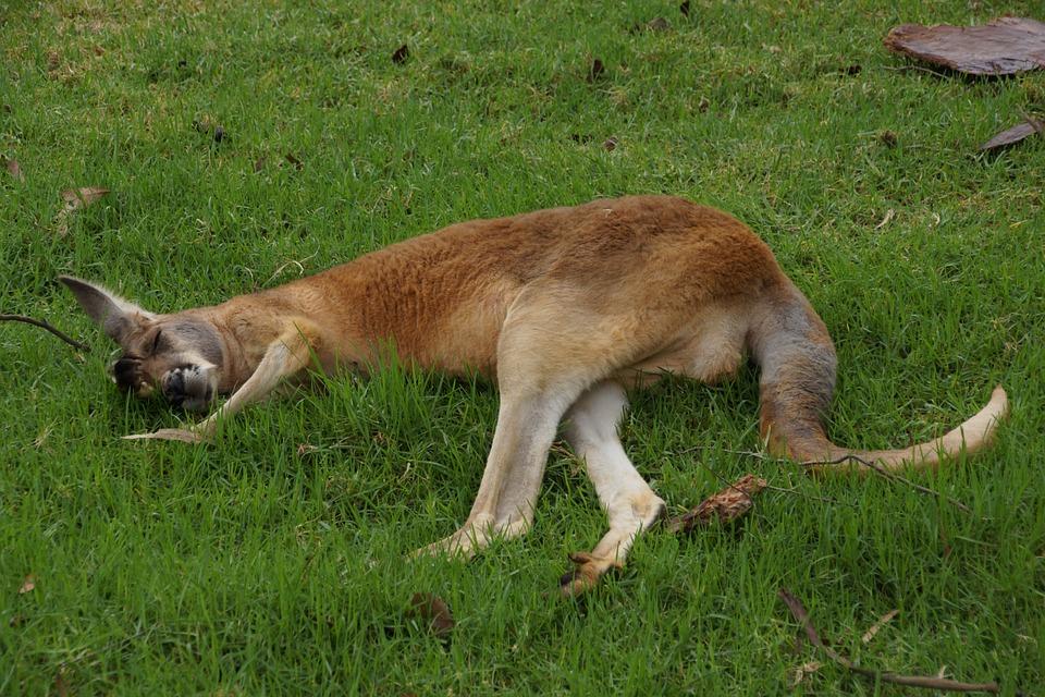 kangaroo-946562_960_720怠けたカンガルー