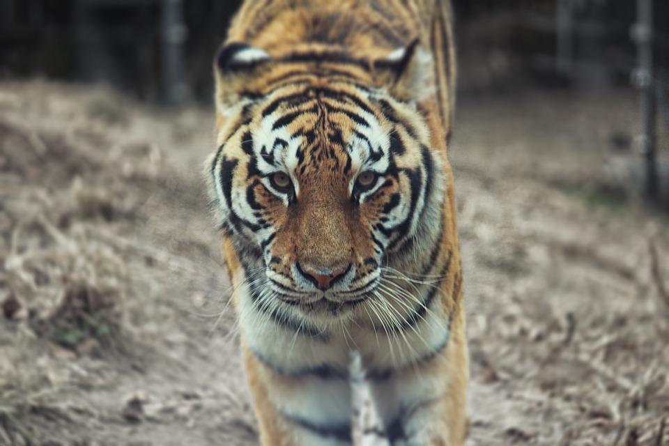 tiger-2444219_960_720