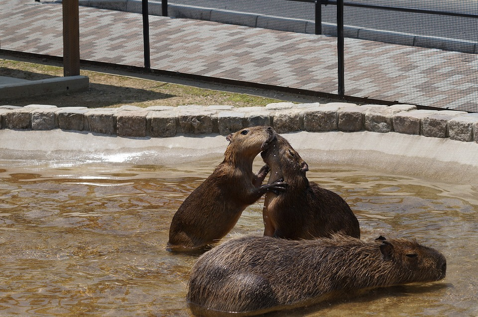 capybara-2654012_960_720カピバラのお風呂