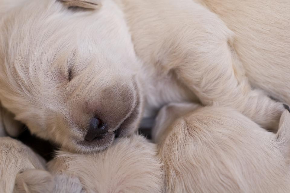 puppies-2985943_960_720