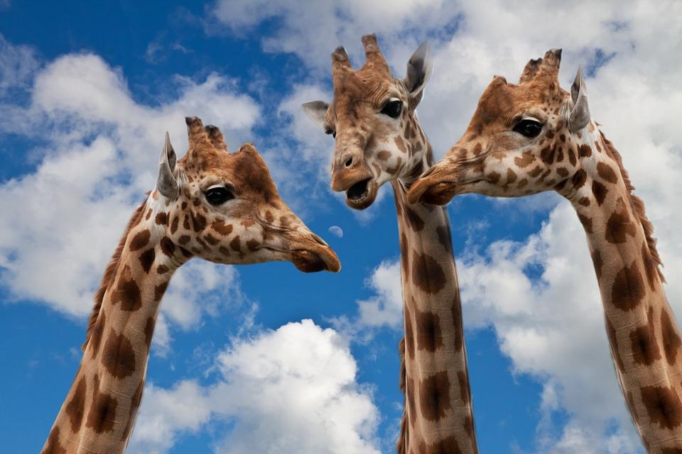 giraffes-627031_960_720ディスカッション
